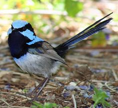 Splendid Fairywren (Malurus splendens cyanochlamys) face with fan display ©WikiC | Lee's Birdwatching Adventures Plus