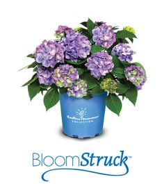 BloomStruck   Endless Summer hydrangea are known to bloom 10 to 12 weeks longer than average Hydrangea macrophylla plants -    See more at: http://www.endlesssummerblooms.com/design-and-grow/planting-and-care#sthash.1r3sSCHq.dpuf