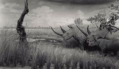 """White Rhinoceros"" (1980). by Hiroshi Sugimoto Courtesy Fraenkel Gallery/The J. Paul Getty Museum."