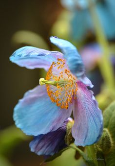 """✿ Flowers ✿  """"Blue Himalayan Poppy 2"""" by Julie Palencia"""