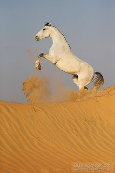Rising to the sky - Marwari mare Mangal rising on the dunes in India