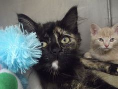 Kittens and Kittens is an adoptable Domestic Short Hair Cat in Shelbyville, IN. The Shelbyville/Shelby County Animal Shelter has six, seven and eight week old kittens available for adoption.  We have ...