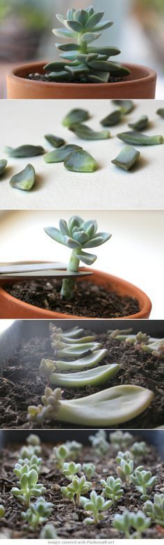 //garden and plants - how to propagate succulents from leaves Importante. No cubras con tierra las hojas de suculentas pues se pudren.