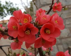 """Όσα πρέπει να ξέρουμε για την """"ξεχωριστή"""" τσιντόνια που δίνει άλλο τόνο στον κήπο μας!. Flower Pictures, Horticulture, Home And Garden, Gardening, Blanket, Decoration, Rose, Nature, Plants"""