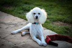 Ranger, my sweet foster Moyen poodle! Sweet and cuddly, he is a wonderful baby. Www.helpinglittlepaws.com for info.