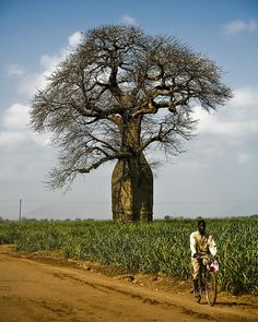 a Baobab tree / Malawi, Africa Le Baobab, Baobab Tree, African Tree, World Thinking Day, Giant Tree, Out Of Africa, East Africa, Unique Trees, Palmiers