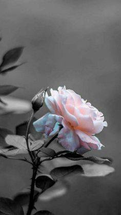 Foto Black And White Roses, Black And White Aesthetic, Black And White Pictures, Black And White Colour, Pink Aesthetic, White Roses Wallpaper, Flower Wallpaper, Nature Photography Flowers, Stunning Photography