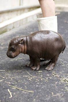 Hipopotamo Bebe!