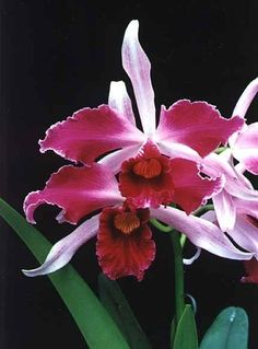 Garden Flowers - Annuals Or Perennials How Often Do Orchids Bloom Fruit Flowers, All Flowers, Types Of Flowers, Exotic Flowers, Tropical Flowers, Planting Flowers, Orchid Plants, Exotic Plants, Orquidea Laelia