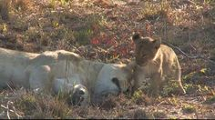 Lioness loves her cub