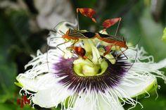 Visita sexual a la Passiflora