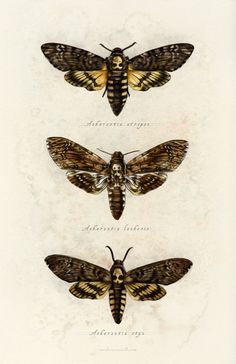 sarah-oconnell: Spent some time today revisiting this series of moths from All three of them are in one happy print now. Tattoo Papillon, Art Papillon, Perro Papillon, Death Head Moth Tattoo, Moth Drawing, Moth Tattoo Design, Skull Moth, Deaths Head Moth, Beautiful Bugs
