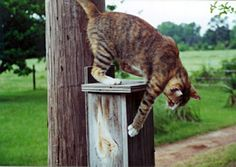 Nestboxes mounted on wood posts or less than 6 feet off of the ground on metal pipe become fast food restaurants for stray cats. Nestboxes are vulnerable to cats  by Keith Kridler