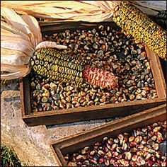 """Oaxacan Green Dent Corn:  """"Grown for centuries by the Zapotec Indians of southern Mexico where it is used to make green flour tamales. Traditionally grown with squash and beans which climb up the corn stalks."""""""