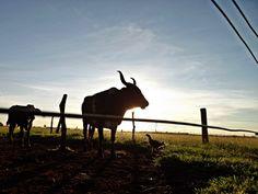 """Olhares do avesso: Revanchismo (miniconto) – por Rafael Belo """"O sol estava nascendo e à sua frente estava duas vacas e uma galinha. Não eram aquelas três fofoqueiras da esquina da sua casa"""". miniconto. entre comente fomente compartilhe. olharesdoavesso.blogspot.com.br/2014/05/revanchismo-miniconto-por-rafael-belo.html"""