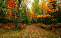 Autumn Forest Path | Grass Fall Forest Leaves Nature Path Peaceful Trees Woods Wallpapers ...