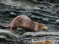 River otters, San Juan Islands, WA