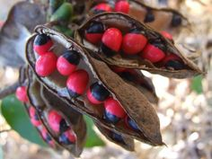 Seed Pods via Utopia Images Online site Unusual Flowers, Beautiful Flowers, Planting Seeds, Planting Flowers, Rosary Pea, Sea Beans, Seed Pods, Natural Shapes, Botany