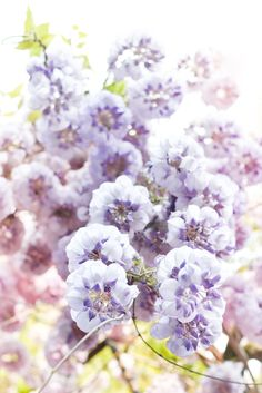#Glycine #Flowers #Light #color