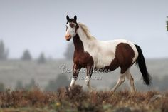 """South Steens Wild Horses M136967  """"Kadra"""", Oregon  Available in prints, cards and canvases. Mugs are available in my Facebook store: http:store.barbarawheelerphotography.com.   Check out the wild horse galleries by state. We have hundreds of photos of mustangs from all over the US - over 60 herds.  http://barbarawheelerphotography.com/wildhorses"""