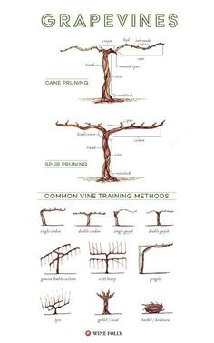 Parts of a grape vine, training and pruning methods #Wine #Wineducation #GrapeGrowingBeautiful