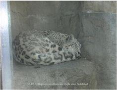 A snow leopard sleeping at Brookfield Zoo.
