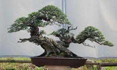 Bonsai Tree Types, Indoor Bonsai Tree, Bonsai Plants, Bonsai Garden, Succulents Garden, Air Plants, Cactus Plants, Ikebana, Plantas Bonsai