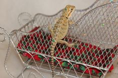 Kelowna Bearded Dragons, Baby Bearded Dragons for Sale & how to care for a Bearded Dragon. Bearded Dragon, Cute Babies, Merry Christmas, Dragons, Baby, Animals, Tips, Merry Little Christmas, Animales