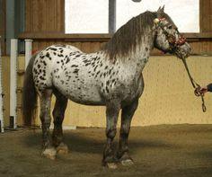Remus Nero XII, a near-leopard Noriker stallion. Pferdezucht-Austria.