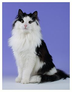Norwegian Forest Cat. I love cats with long fur, and this one has a beautiful match of black and white.