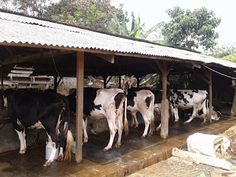 Sapi Perah Minsu Cow Milk