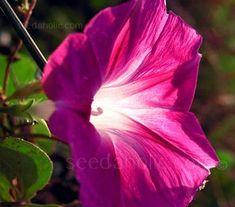 Ipomoea tricolor 'Scarlet O'Hara'