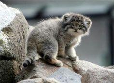 Pallas cat baby