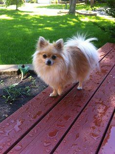 Pomeranian- cutest ever