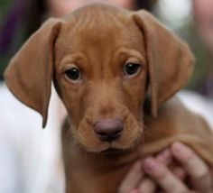 vizsla- the kind of puppy I'm getting Dominic when he gets bigger, love then so cute <3