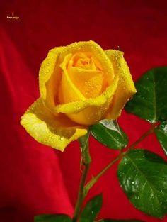 Good Morning Gif, Good Morning Flowers, Good Morning Images, Rose Flower Wallpaper, Flowers Gif, Beautiful Pink Roses, Beautiful Flowers Wallpapers, Messages Bonjour, Tea Gif