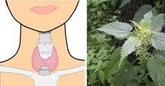 Čo robí aloe vera s telom: Preto ju Egypťania volali rastlina nesmrteľnosti Natural Herbs, Natural Health, Natural Treatments, Natural Remedies, Iodine Supplement, Thyroid Problems, Dash Diet, Good To Know, Healthy Life