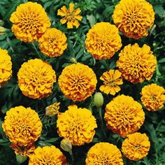 Marigold   Boy Orange