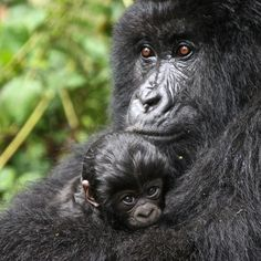 """719 Likes, 12 Comments - explore.org (@exploreorg) on Instagram: """"Gorilla love - To observe a mother Gorilla and her infant will take your breathe away. If you…"""""""