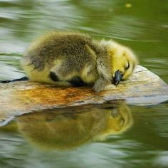 ITS A LITTLE DUCK SLEEPING