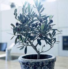An olive tree in a pot Citrus Trees, Fruit Trees, Container Plants, Container Gardening, Indoor Gardening, Gardening Tips, Indoor Plants, Indoor Outdoor, Pot Plants