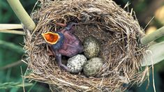 common cuckoo | PHOTO: A common Cuckoo chick in Reed Wablers nest waits to be fed with ...