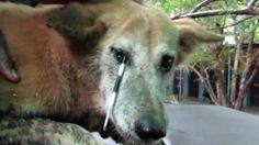 ✔Спасение животных Игла дикобраза пронзила собаке лоб