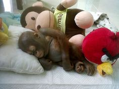 Exhausted: Budi sleeping on a makeshift bed alongside his orangutan and Angry Bird soft toys shortly after his rescue