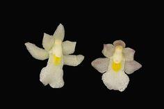 Orchid: Capanemia superflua - Flickr - Photo Sharing!