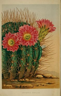 plate from 'The Floral World' edited by Shirley Hibberd. Published by Groombridge & Sons. Cactus Decor, Cactus Art, Cactus Flower, Flower Art, Vintage Botanical Prints, Botanical Art, Plant Illustration, Botanical Illustration, Cactus Pictures