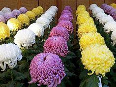 Geranium Flower, Mums The Word, Flowers Nature, Amazing Flowers, Geraniums, Twitter, Plants, Chrysanthemums, Gardens