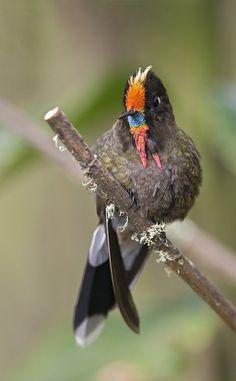 Chalcostigma herrani - Rainbow-bearded Thornbill - Colibrí de Herrán - Pico…
