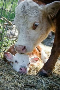 A cow and her calf....as it should be....
