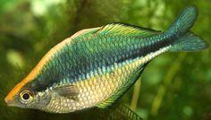 Lake Kutubu Blue Rainbowfish (Melanotaenia Lacustris) dominant or spawning male with bright yellow head color change.